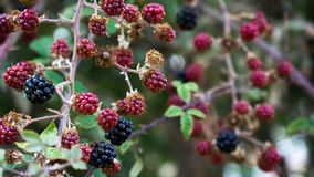 Blackberries. A lot of blackberries in a hidden place royalty free stock photography