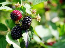 Blackberries in the mature phase royalty free stock image