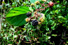 Blackberries. Matured and crude blackberries by sunshine Royalty Free Stock Photos