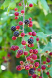Blackberries in nature against gree background. In woods with natural light Stock Photography