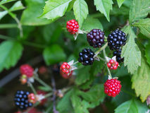 Blackberries in nature. Wild blackberries on the branches with green background in nature Stock Images