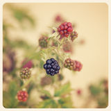 Blackberries old photo Royalty Free Stock Images