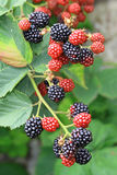 Blackberries On The Bush Stock Photo