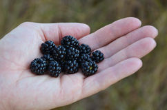 Blackberries in the palm Stock Image