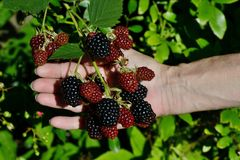 Blackberries on the palm Stock Photo
