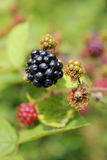 Blackberries portrait Stock Images