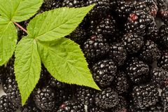 Blackberries with raspberry leaf Royalty Free Stock Images