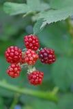 Blackberries. Red unripe blackberries in the garden Stock Image