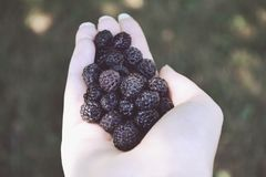 Blackberries royalty free stock images