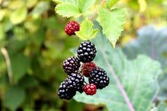 Blackberries. Ripe blackberries in the garden Royalty Free Stock Image