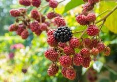 Blackberries ripening Stock Image