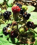 Blackberries ripening stock image
