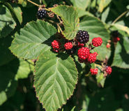 Blackberries Ripening on the Vine. Blackberries are in different stages - some ripe and some still ripening on the vine.  They are available to the public at a Royalty Free Stock Images