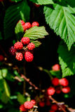 Blackberries ripening on the vine. Outdoors in nature Stock Photos