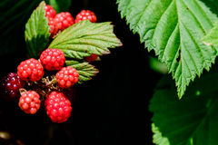 Blackberries ripening on the vine. Outdoors in nature Stock Images