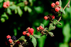 Blackberries ripening on the vine. Outdoors in nature Royalty Free Stock Photo