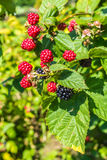 Blackberries ripening on the vine in the sun Royalty Free Stock Photo