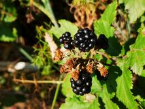 Blackberries. Rippening in the bush Royalty Free Stock Photography