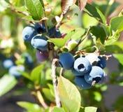 Blackberries on shrub. Stock Image