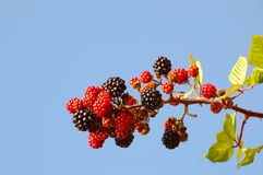 Blackberries in the sky Stock Images