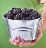 Blackberries in a small metallic bucket - in woman hand Royalty Free Stock Images