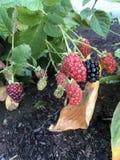 Blackberries. Some ripe, some not Stock Image