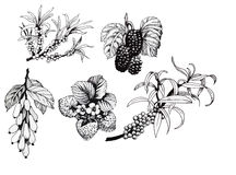 Blackberries, strawberries and dogwood and sea buck-thorn berries, black and white illustration set.  Stock Photos