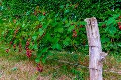 Normandy Blackberries Hedgerow royalty free stock photos