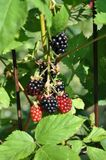 Blackberries in the sun Royalty Free Stock Photography