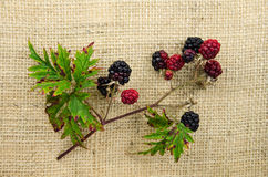 Blackberries at a twig Stock Images