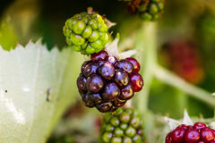 Blackberries on vine macro. Blackberries at different levels of ripeness taken with macro lens Stock Photos
