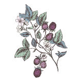 Blackberries. Vintage flower and berry background. Beautiful blackberries branch. Botanical illustrations Stock Images