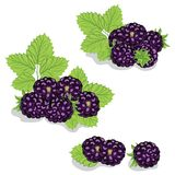 Blackberries on a white background Royalty Free Stock Image