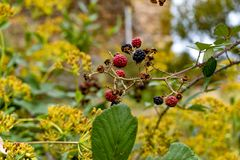 Blackberries of wild brambles located in a wooded area. Blackberries of wild brambles located in a wooded area of southern Spain stock photography