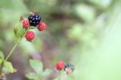 Blackberries in the Wild. Close image of blackberries, one ripe and in sharp focus, several still red and unripe stock photography