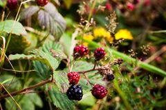 Blackberries in the wild. Blackberries in the forrest who are free for everyone Stock Image