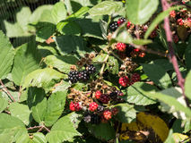 Blackberries in the wild Royalty Free Stock Photo