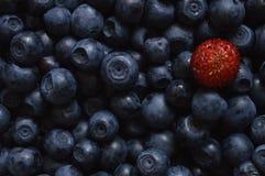 Blackberries with wild strawberry. Large amount of black berries with single wild strawberry stock photos
