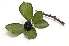 Blackberries XI Royalty Free Stock Image