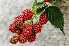 Blackberry, υγιή τρόφιμα, φρούτα, ώριμα, μούρο, τρόφιμα, Στοκ φωτογραφίες με δικαίωμα ελεύθερης χρήσης