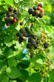 Blackberry Royalty Free Stock Photo