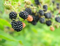 Blackberry. Ripe  blackberry on a branch Royalty Free Stock Photos