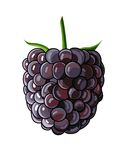 Blackberry. On white background. No gradients used royalty free illustration