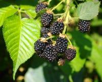 Blackberry. Growings in a garden Stock Image