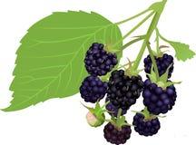 Blackberry royalty free illustration