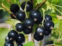 Blackberry. Fresh blackberreis in the garden Royalty Free Stock Photo