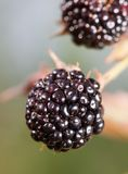 Blackberry Stock Photos