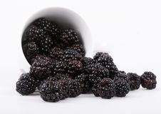 The blackberry. Is a widespread and well known shrub. A bramble fruit (Genus Rubus, Family Rosaceae) growing to 3 m (10 ft) and producing a soft-bodied fruit Stock Image