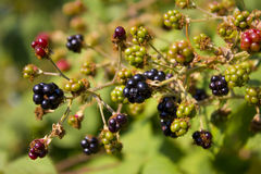 Blackberry. Bush in a park royalty free stock images