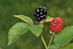 Blackberry. Two blackberry fruits on a plant royalty free stock photos